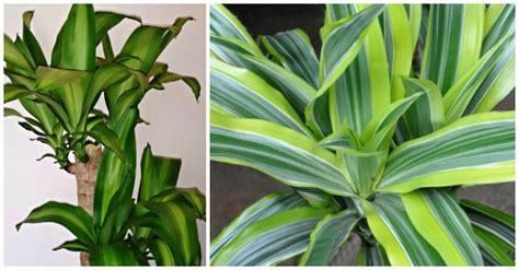 growing dracaena fragrans   grow corn plants