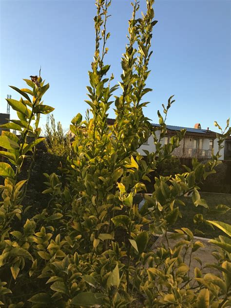 orange trees new year do orange and lemon trees need annual pruning gardening