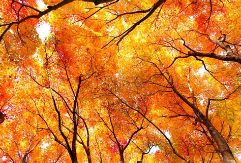 gallery red maple tree forest