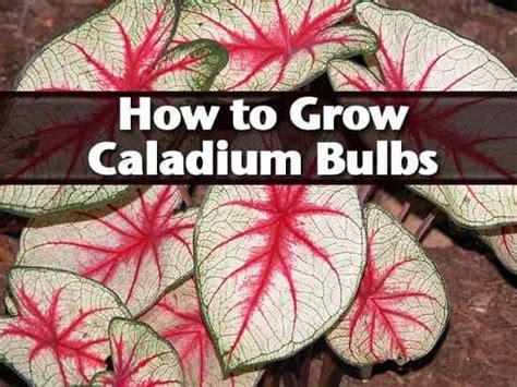 grow caladium bulbs