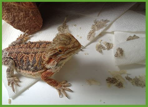 Can Bearded Dragons Eat Their Shedded Skin shedding