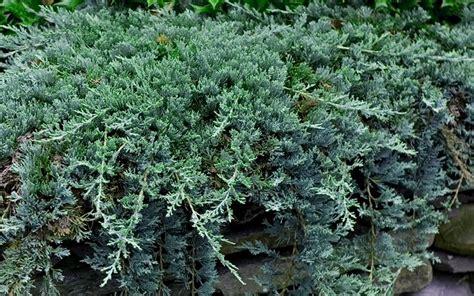 blue rug juniper ground cover blue rug juniper 2 5 quart groundcover coniferous junipers