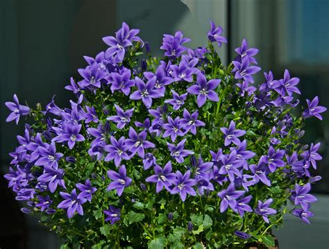 blauwe regen weinig bloemen acheter canule des murets 171 stella 187 canula