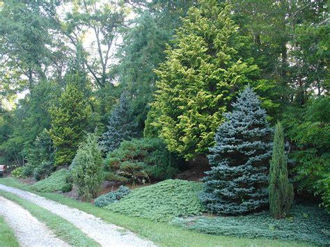 Landscaping Ideas Evergreen Shrubs Mixed Evergreen Tree Screen Conifers Trees