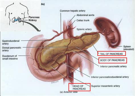 where is your pancreas located diagram spleen location anatomy human anatomy diagram