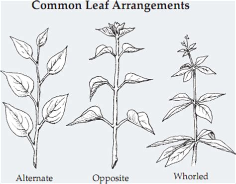 the pattern of leaf arrangement is called wednesday s weeds asian bush honeysuckle autumn olive