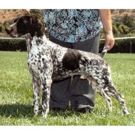 german shorthaired pointer puppies california paladen german shorthaired pointers german shorthaired pointer breeder in riverside
