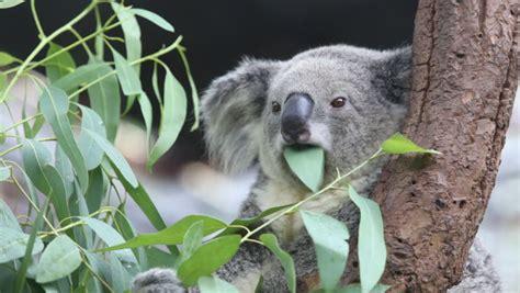 imagenes animadas koala koala eating eucalyptus leaves stock footage video 4434806
