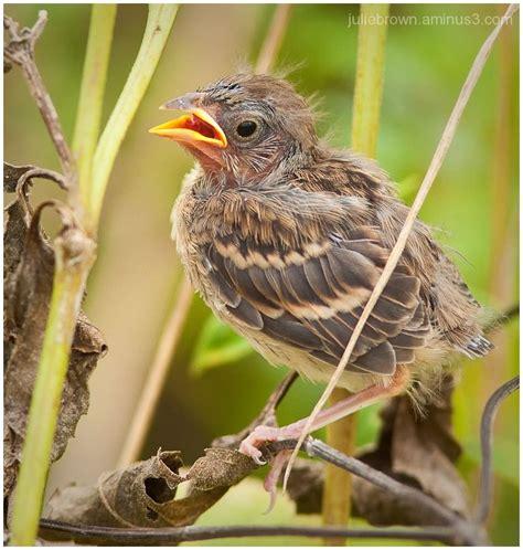 image gallery sparrow fledgling