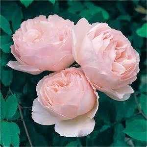 Roses By David Heritage Bush Roses By Name Shades Of Pink David