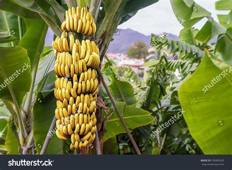 bananas on tree banana tree with a bunch of growing ripe yellow bananas