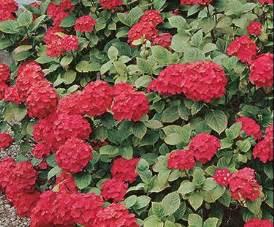 flowering shrubs zone 7 hortensia bloom iq