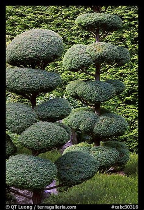 japanese topiary trees picture photo juniper topiary trees trimed japanese