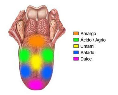 imagenes sensoriales del gusto el mapa de la lengua el quinto sabor y otras cosas que no