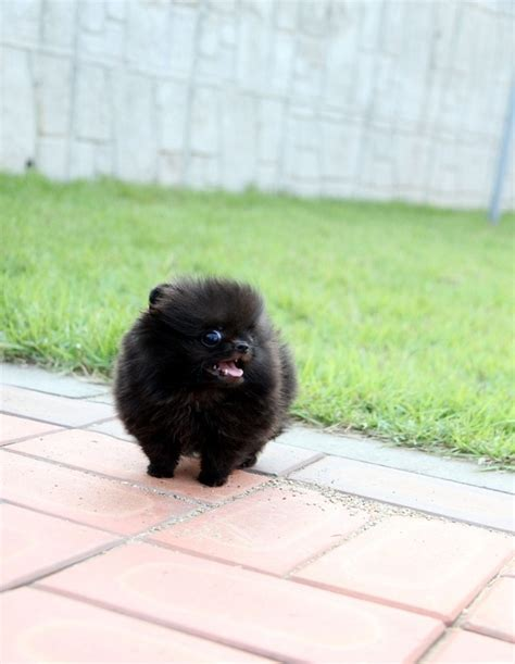 black teacup pomeranian puppies black teacup pomeranian pet help