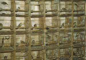 riproduzione cardellini di cattura in gabbia vallevegan l a fattoria degli animali liberi free