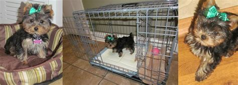 house training dogs how to potty train a yorkie is it really as hard as people say