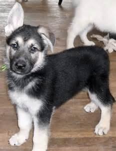 black and white german shepherd puppies best 25 german shepherd husky ideas on husky mix german shepherd german