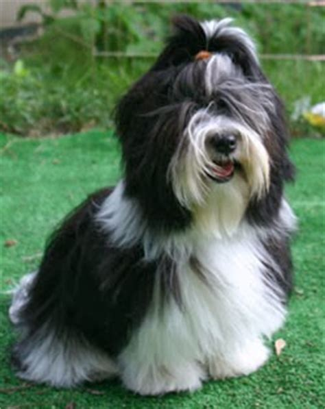 havanese lifespan plexidor pet doors breed monday havanese