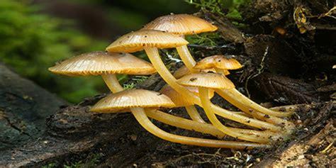 contoh jamur  divisi zygomycota  perlu kamu