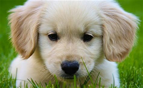 how to care for a golden retriever puppy golden retriever puppies adoption and care