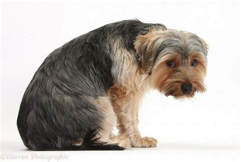 why do yorkies all the time breaking wind pets magazine