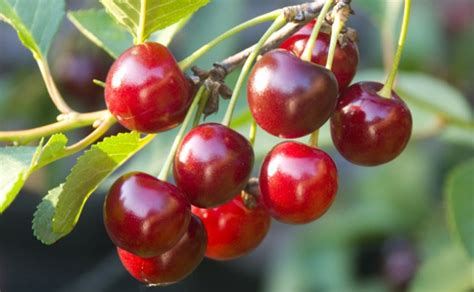 fruit on tree how to plant fruit trees this autumn