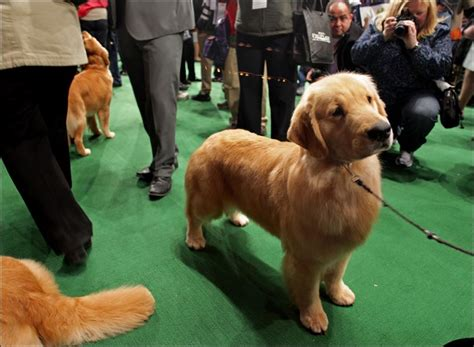 westminster golden retriever toledo blade
