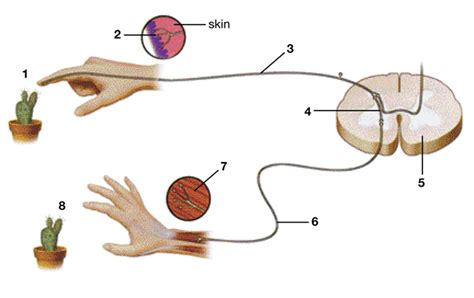 diagram of the reflex arc reflex arc quiz spolem