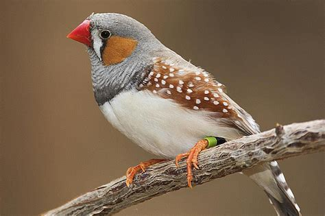 zebra finch breeding basics