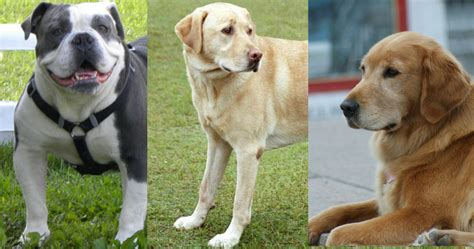 top dog breeds dog breeds what are the 50 most popular dogs in america