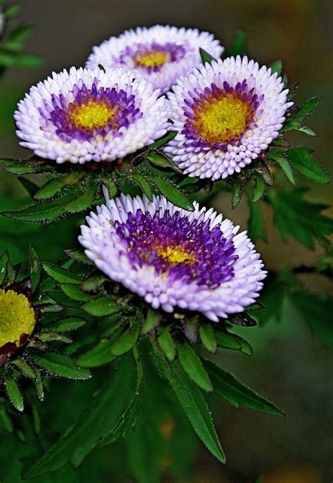 aster color these asters are so different and colorful great choice