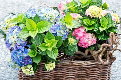 Pflege Hortensien 3547 pflege hortensien pflege hortensien hortensien