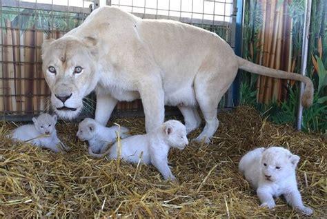 imagenes de animales naciendo como nacen los leones donde viven como nacen