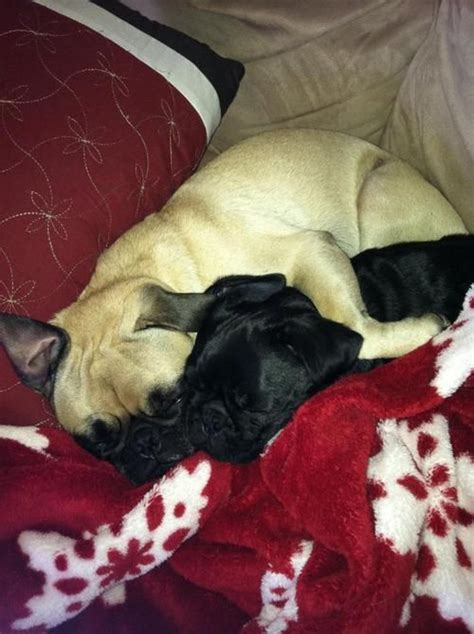 snuggle pug 17 best images about my style on braided buns pug and gabriel