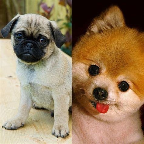 pug a pom pugsmackdown you decide which one is cuter pug or pom pom