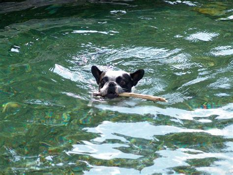 zwemvest bulldog franse bulldog in de water dierenforum
