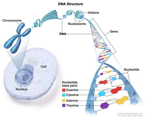 what is a section of a chromosome called definition of chromosome nci dictionary of cancer terms