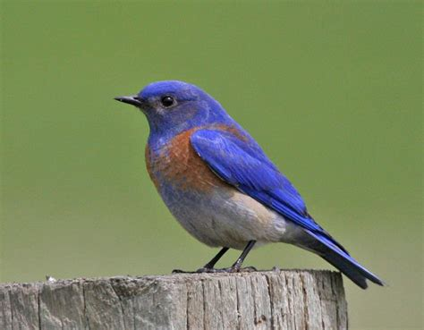 mangoverde world bird guide photo page western bluebird
