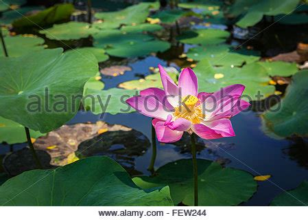 water flower bloom water sparkle lotus flower water and purple water lotus blooming in the small pond