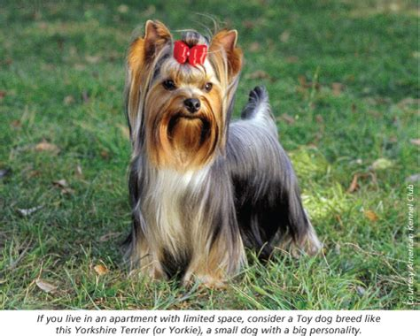 yorkie club yorkie american kennel club breeds picture