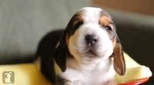 Basset hound puppies dr odd