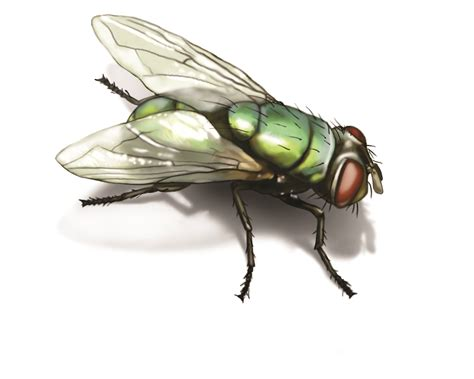 house fly green bottle fly get rid of green bottle flies in house