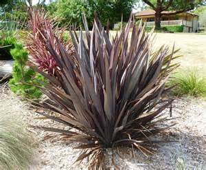 phormium tenax purpureum new zealand flax ebay