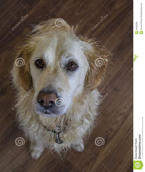 looking for golden retriever golden retriever looking up stock photo image 60306064