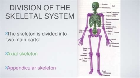 the human skull is divided into what two sections skeletal system pp