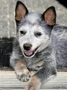 From australian working dog rescue austrailian cattle dogs pinter