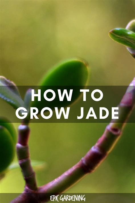 jade plant care pruning soil and propagation jade plants propagation and jade