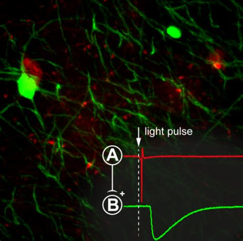 Light Pulse by Using Optogenetics To Analyse Neuronal Circuits Coolled