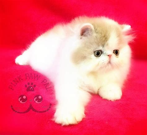 Keranjang Kucing Anggora jual kucing peaknose umur 4 bulan baru aneka